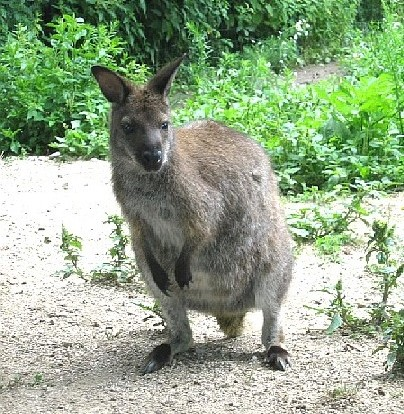 Bennetts wallabie